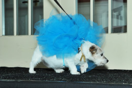Snuggles the dog dressed as a loofah. (Shannon Finney Photography)