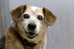 Pops, a 9-year-old beagle/Blue Heeler (Australian cattle dog) mix and he's available for adoption from WARL. (Courtesy WARL)