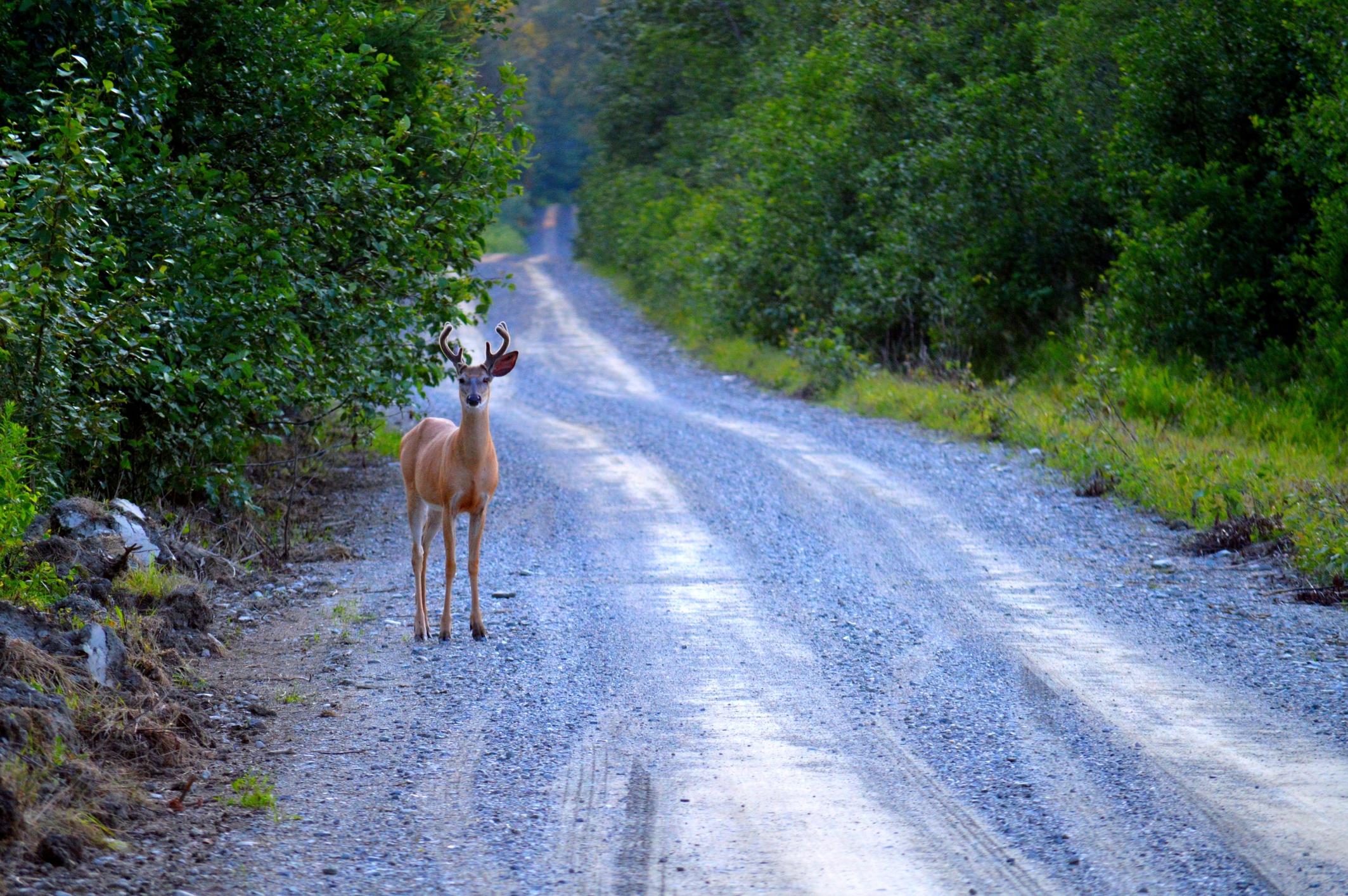 How to avoid hitting deer during mating season
