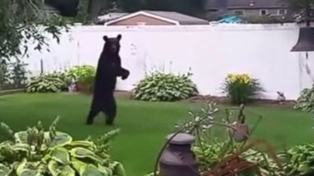 Injured bear in NJ who walks upright may get new home