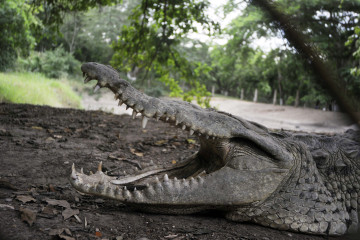 Mystery as surgical plate found in 15-foot crocodile's stomach