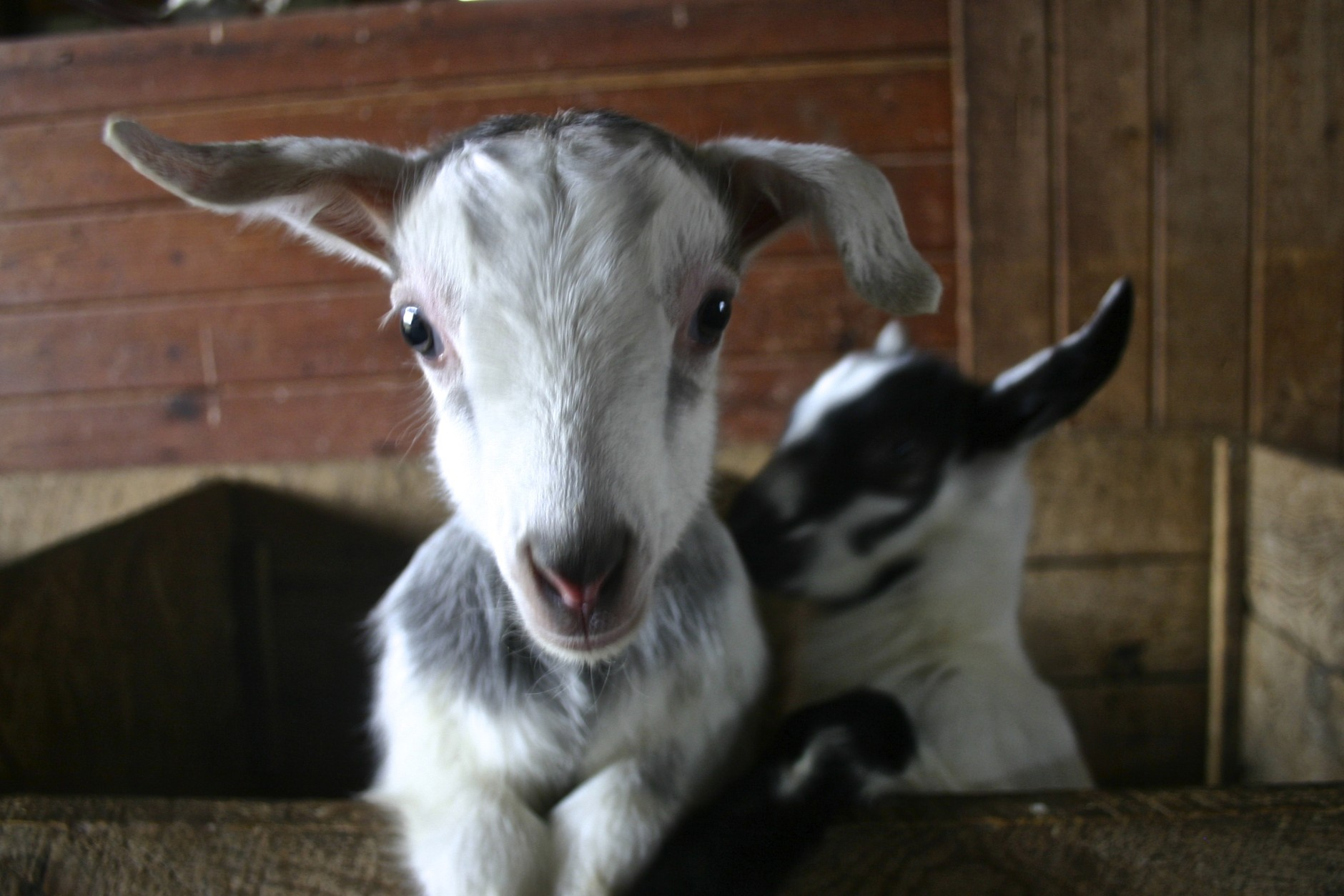 This little kid wants to know if the camera is edible. Goats seem to learn by tasting everything, including a WTOP reporter. (WTOP/Kate Ryan)