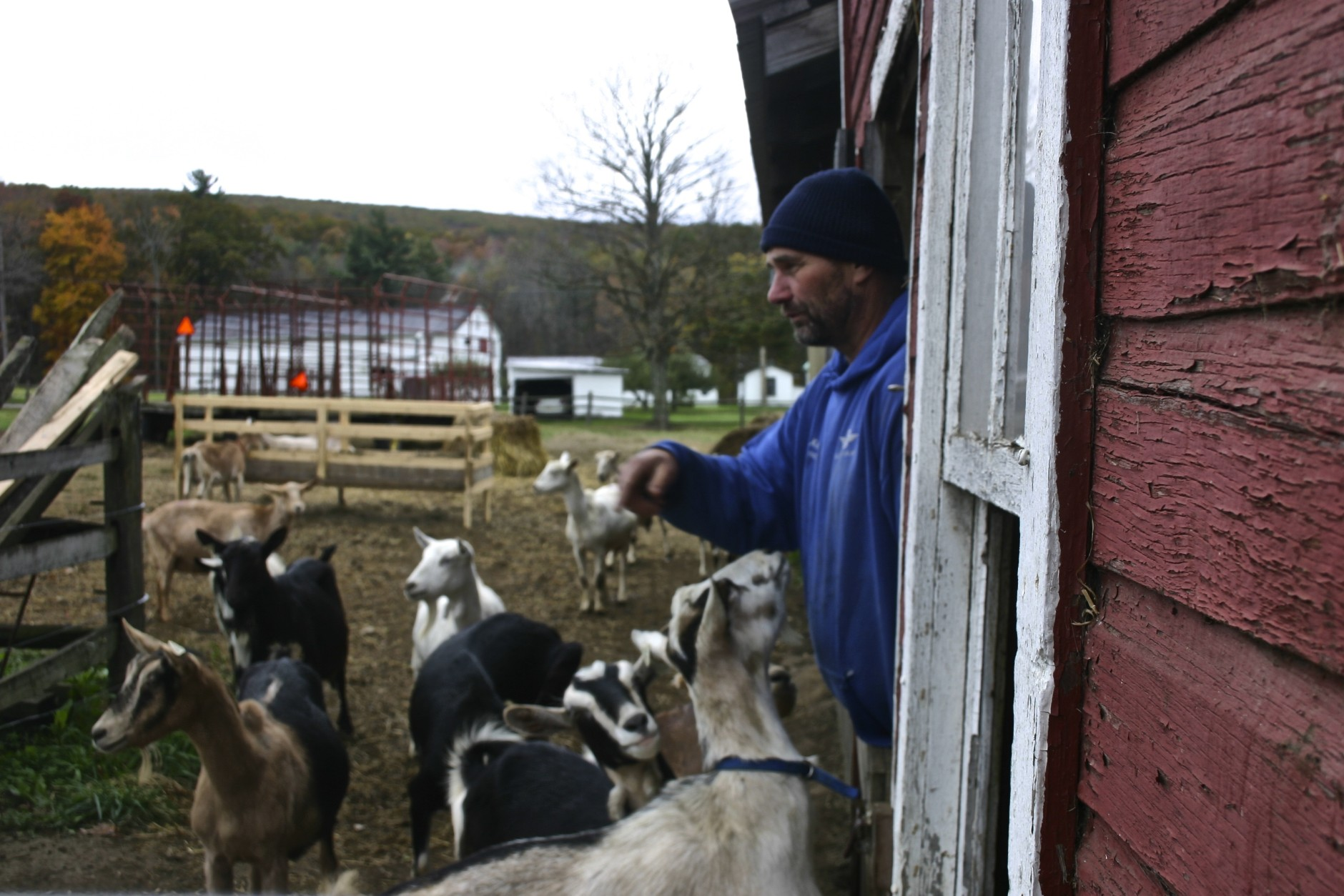 Yutzy takes a head count. He's got about 100 goats -- Saanen, Alpine and Lamanchas.   (WTOP/Kate Ryan)