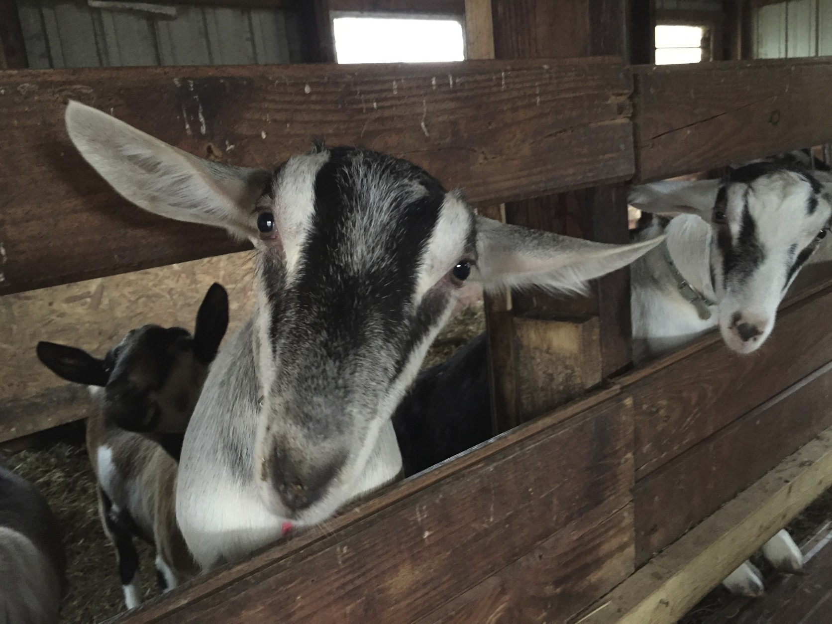 Goats are curious, hardy creatures. Kevin's goats can roam his property and are eager to greet visitors. (WTOP/Kate Ryan)
