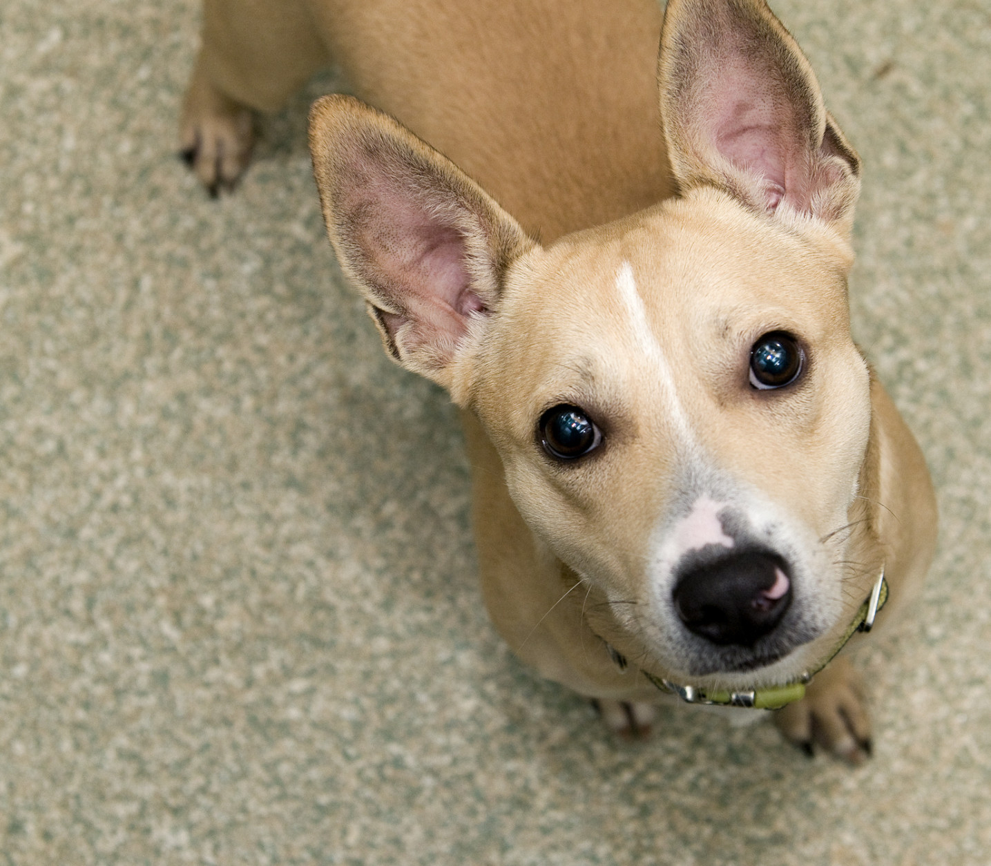 This 1-year-old Jack Russell Terrier mix is very playful and enjoys his toys and a good game of tug. (Courtesy WARL)