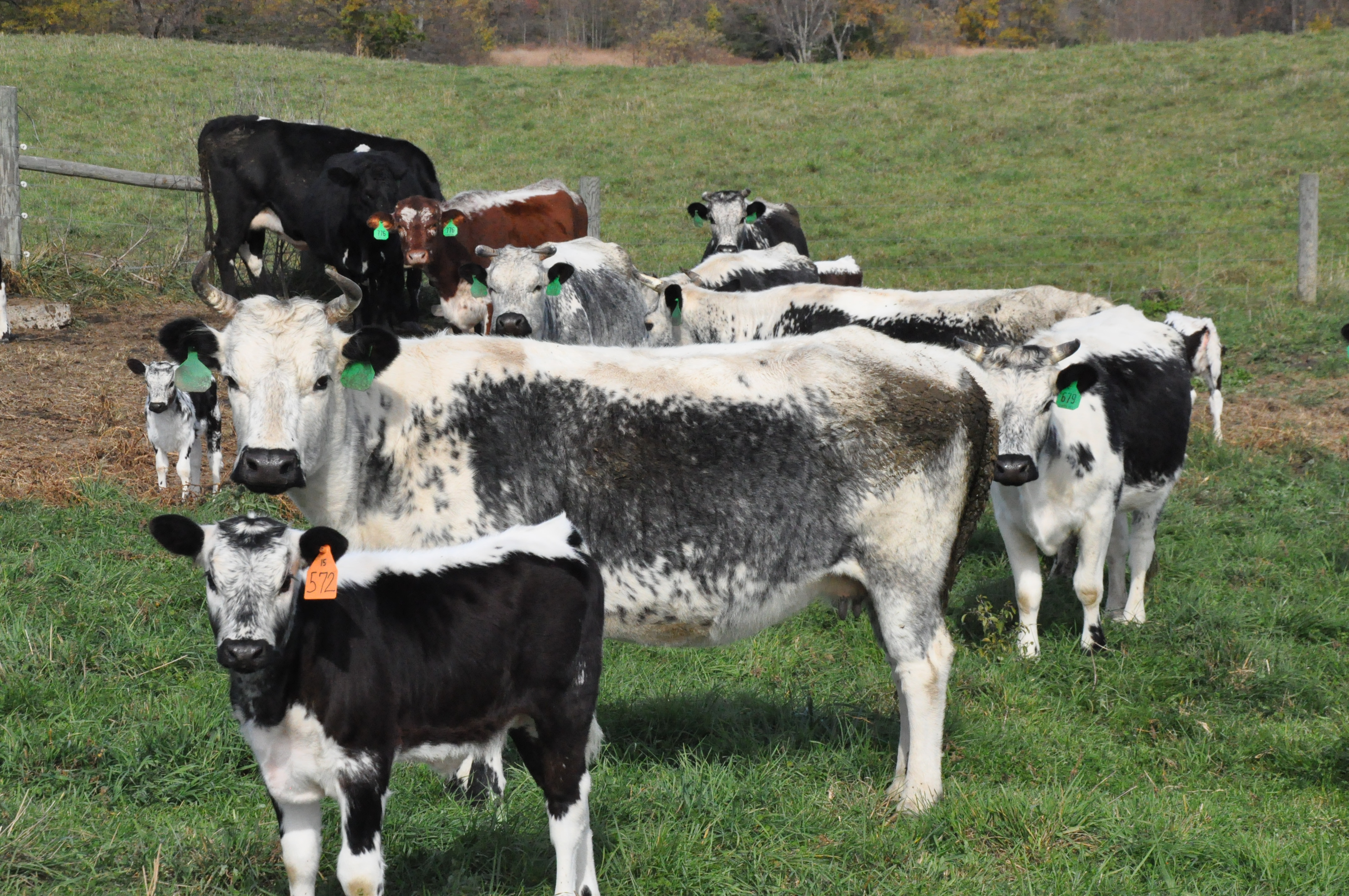 From the brink of extinction to the dinner plate: A local farm saves rare heritage cattle