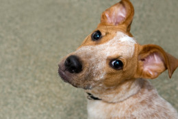 Regina has a pretty red-and-white spotted coat and the most expressive ears. And when she tilts her head quizzically and turns those big brown eyes on you, she is impossible to resist. (Courtesy Washington Animal Rescue League)