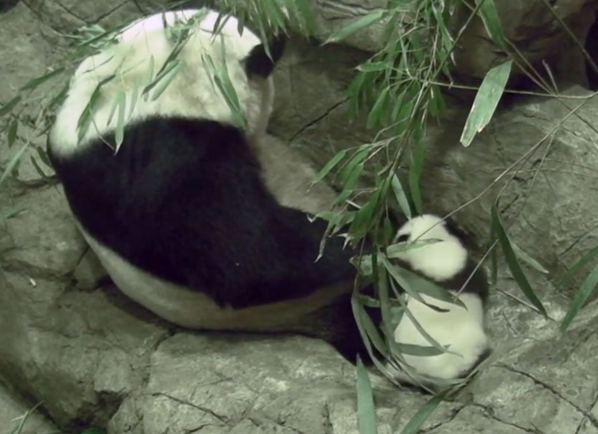 One small step for panda: Bei Bei takes first steps at National Zoo (Video)