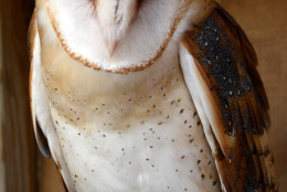 A Barn Owl is pictured here at Rocky Gap State Park. (Courtesy John Zuke)