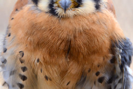 A Kestrel is pictured here at Cunningham Falls State Park. (Courtesy John Zuke)