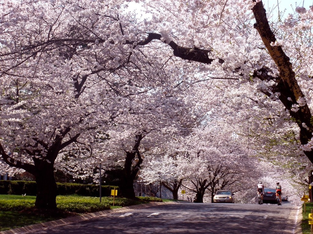 What December's cherry blossoms mean for spring