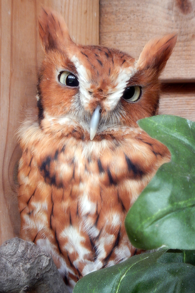 A Screech Owl is pictured here at Cunningham Falls State Park. (Courtesy John Zuke)
