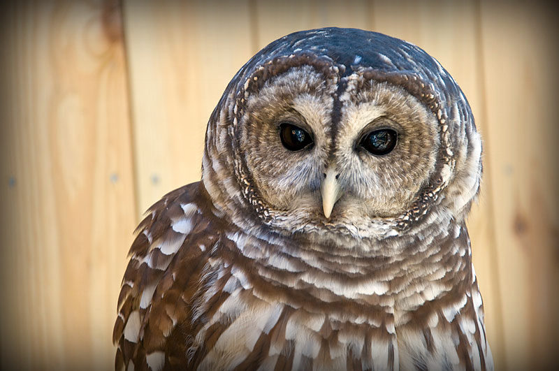 Barred Owl at Rocky Gap State Park. (Courtesy Sarah Milbourne/Maryland Department of Natural Resources)