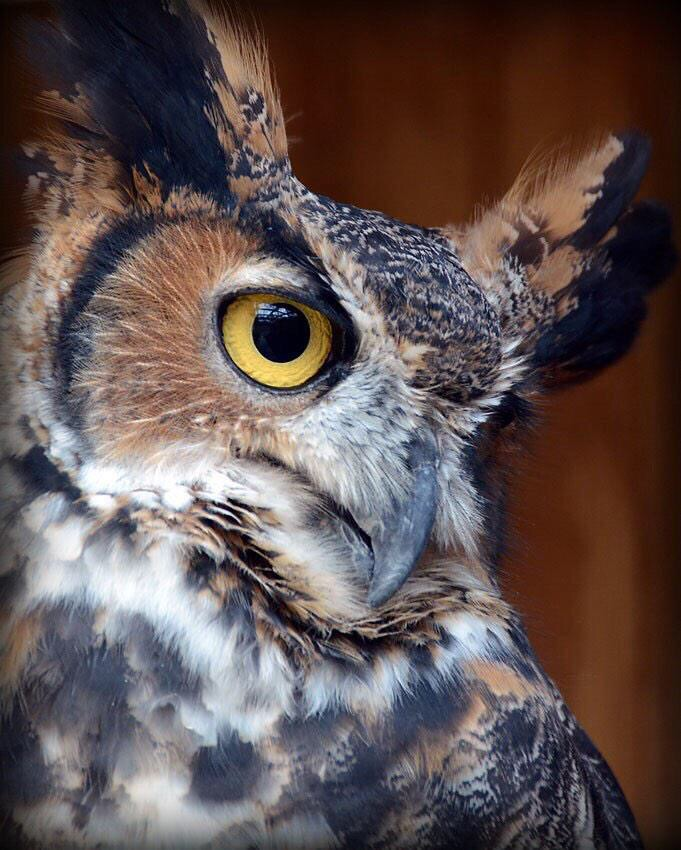 Great Horned Owl at Rocky Gap State Park. (Courtesy Sarah Milbourne/Maryland Department of Natural Resources)