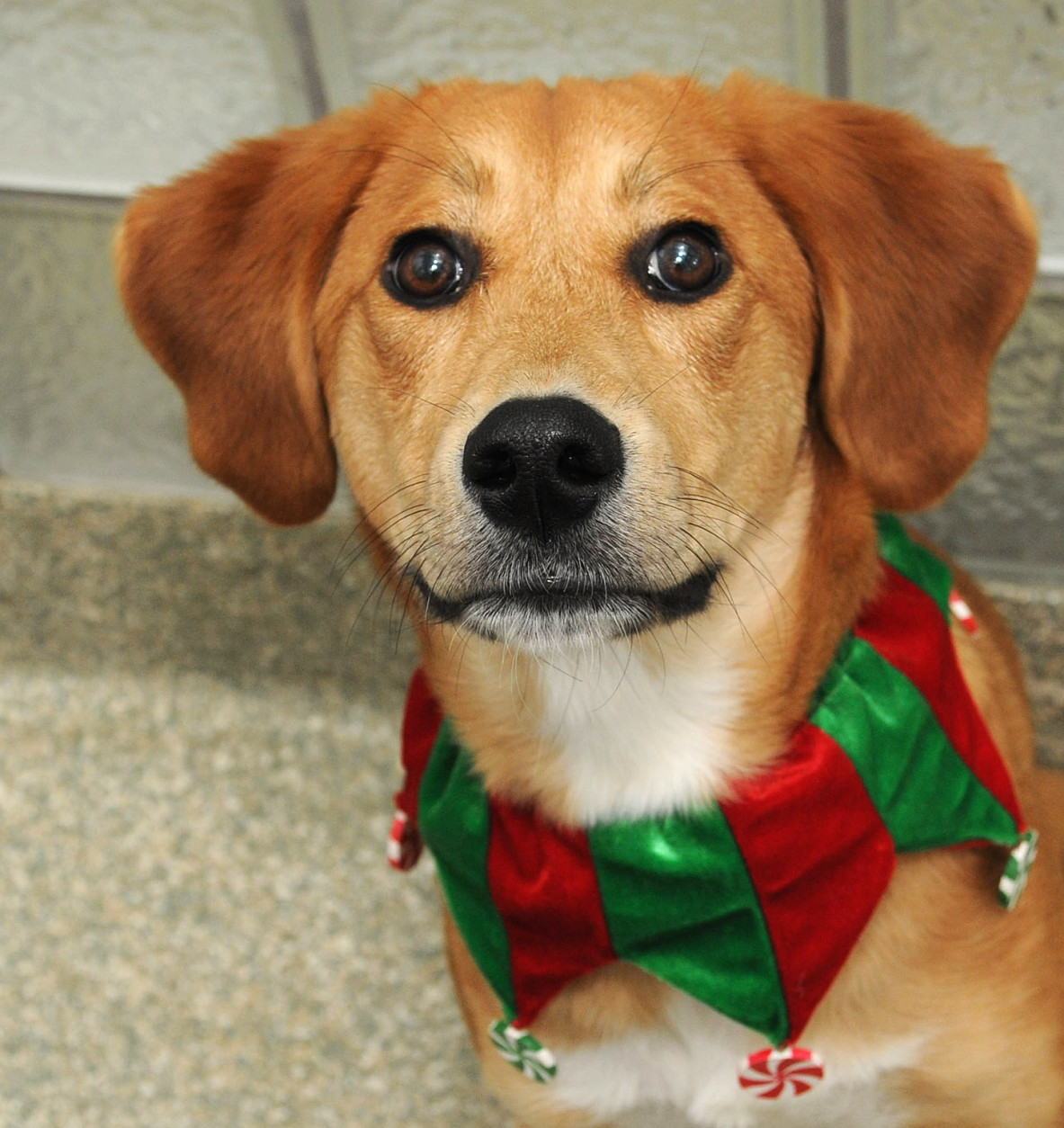 Meadow is a hound/Labrador retriever mix available for adoption at the Washington Animal Rescue League. (Photo Courtesy WARL)