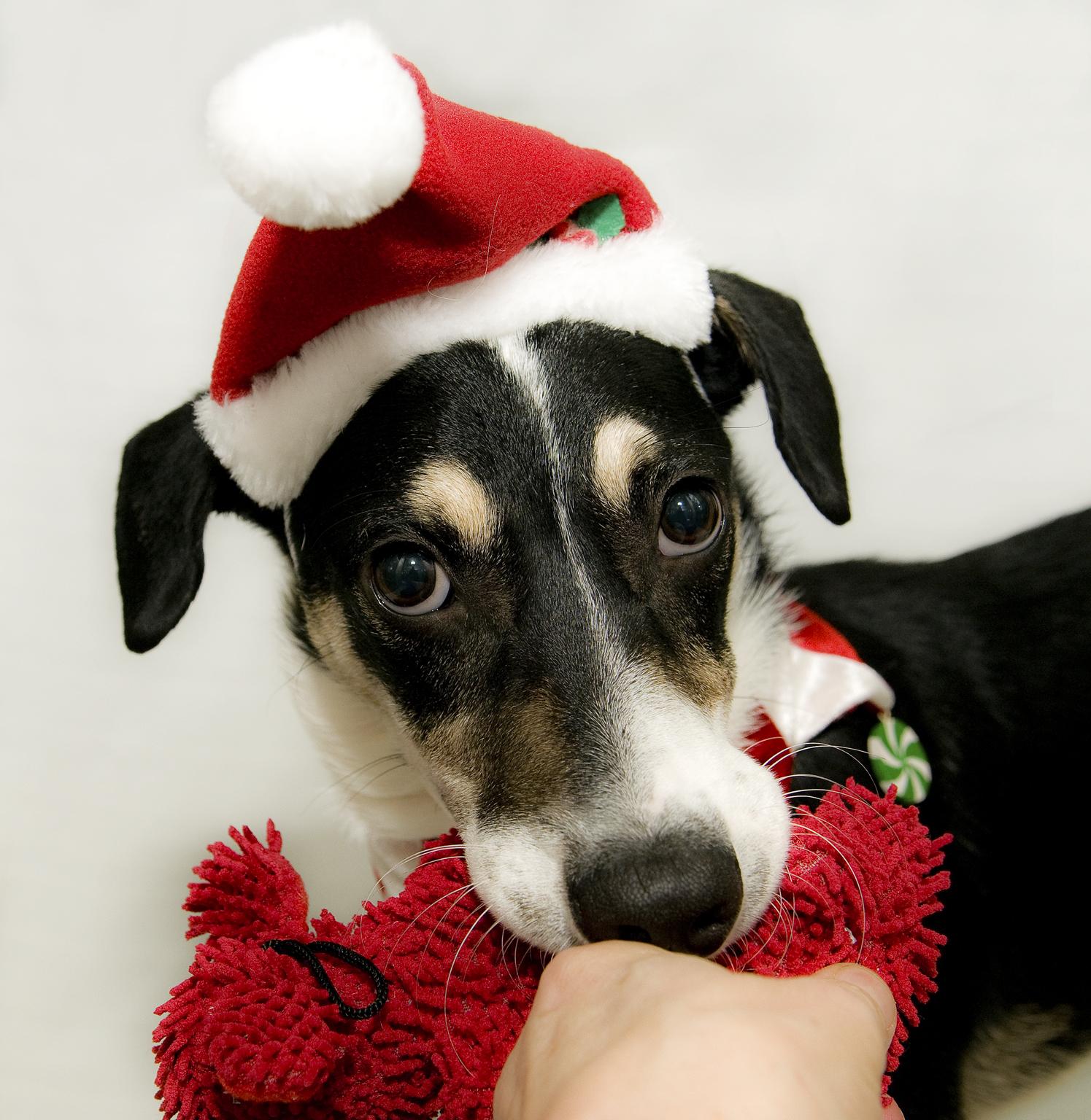 Dr. Pawz: 5 pet hazards to avoid this holiday season
