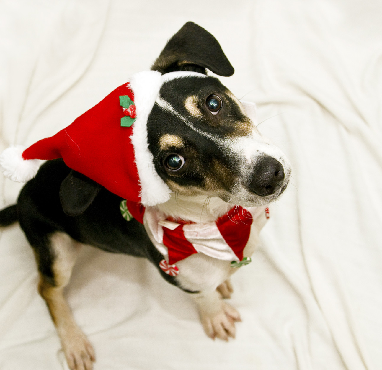 Neopolitan is a small hound mix with cute markings and a fun loving personality.   (Courtesy WARL)