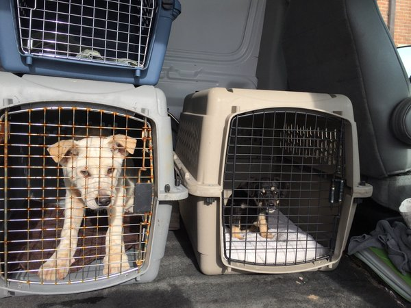 A Jindo and terrier mix go to the Animal Welfare League of Alexandria after the Humane Society rescued the dogs from a meat farm in South Korea. The dogs will soon be available for adoption. (WTOP/Kristi King)