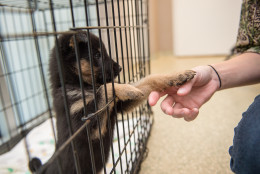 Dogs that arrived over the weekend from a dog meat farm in South Korea are picked up at the Washington Animal Rescue League by area shelters.  Here, Bell plays with Kristen Walker from The HSUS.