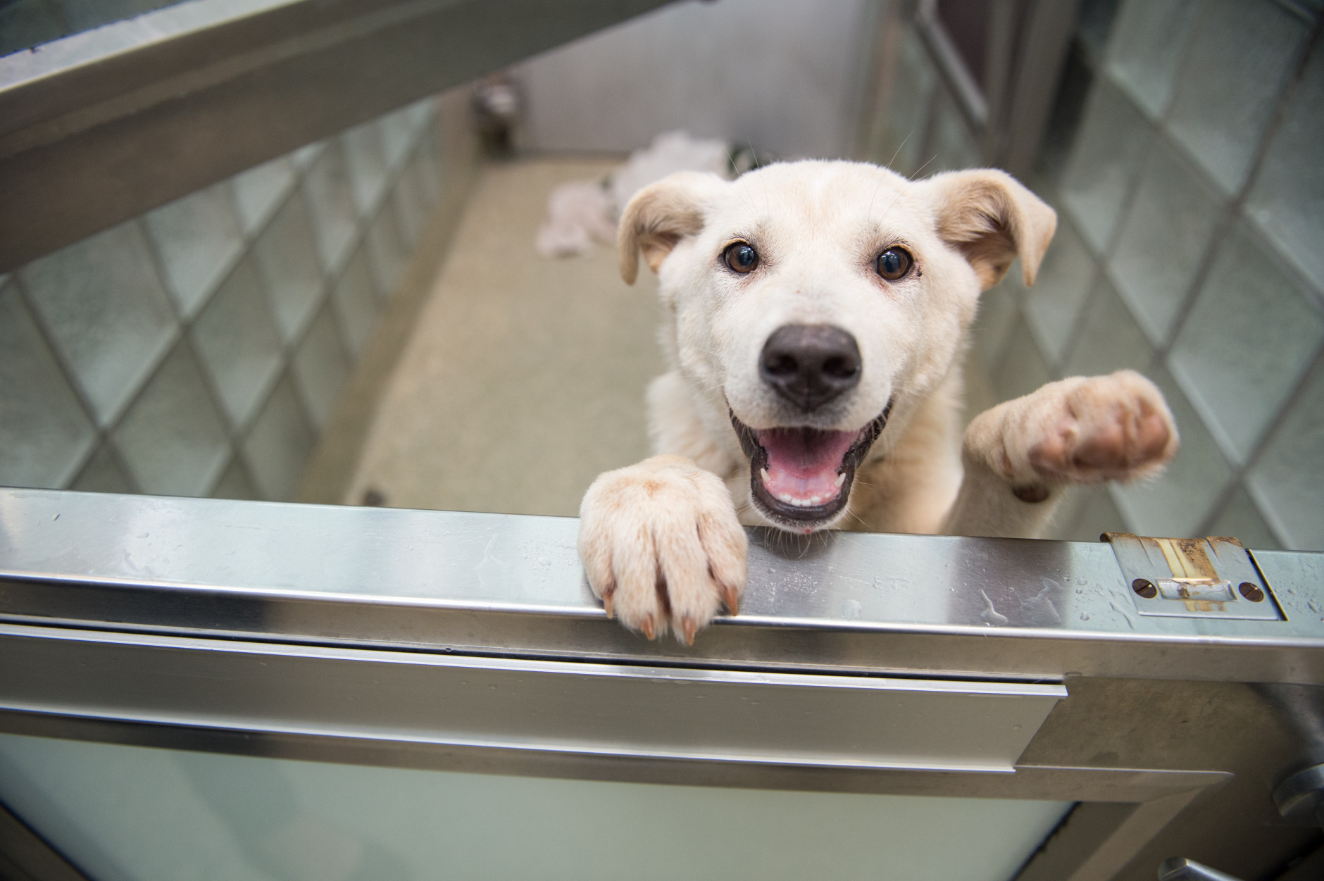 Dogs that arrived over the weekend from a dog meat farm in South Korea are picked up at the Washington Animal Rescue League by area shelters.  Here, Vixen awaits transport to a new shelter. (Courtesy Meredith Lee/The HSUS)