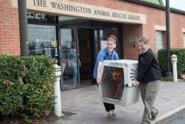 Dogs that arrived over the weekend from a dog meat farm in South Korea are picked up at the Washington Animal Rescue League by area shelters.  Here, staff from the Animal Welfare League of Alexandria carry a dog to their vehicle for transport to the shelter. (Courtesy Meredith Lee/The HSUS)