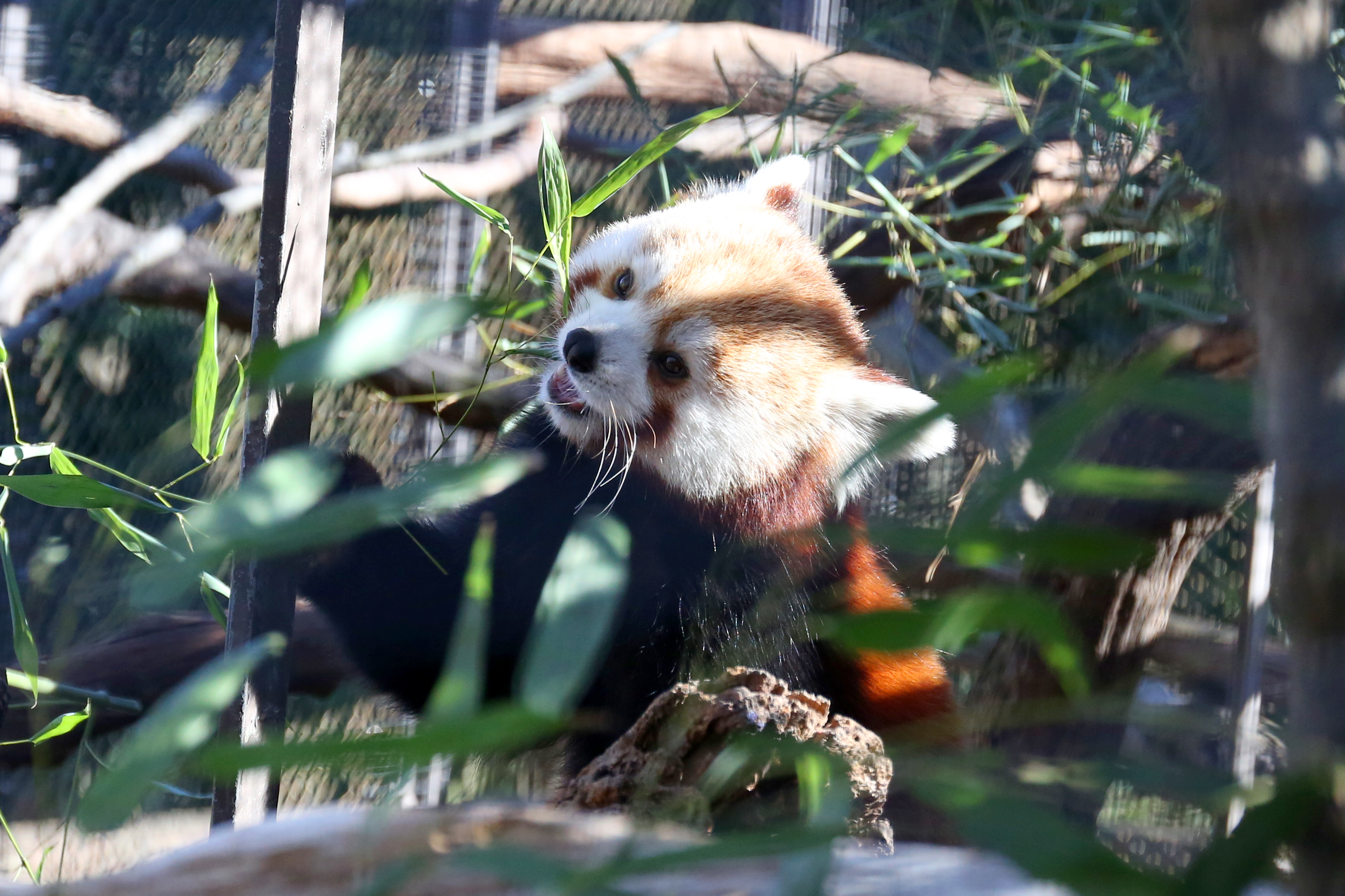 Red pandas return to the National Zoo