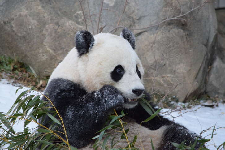 National Zoo hosts sweet birthday bash for panda cub Bei Bei