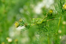 A grasshopper (Gomphocerinae) sits on a branch of a chamomile in Ried im Innkreis, Upper Austria, Friday June 8, 2012. The forecast predicts sunny weather and temperatures up to 32 degrees (89.6 degrees Fahrenheit) in some parts of the country. (AP Photo/Kerstin Joensson)