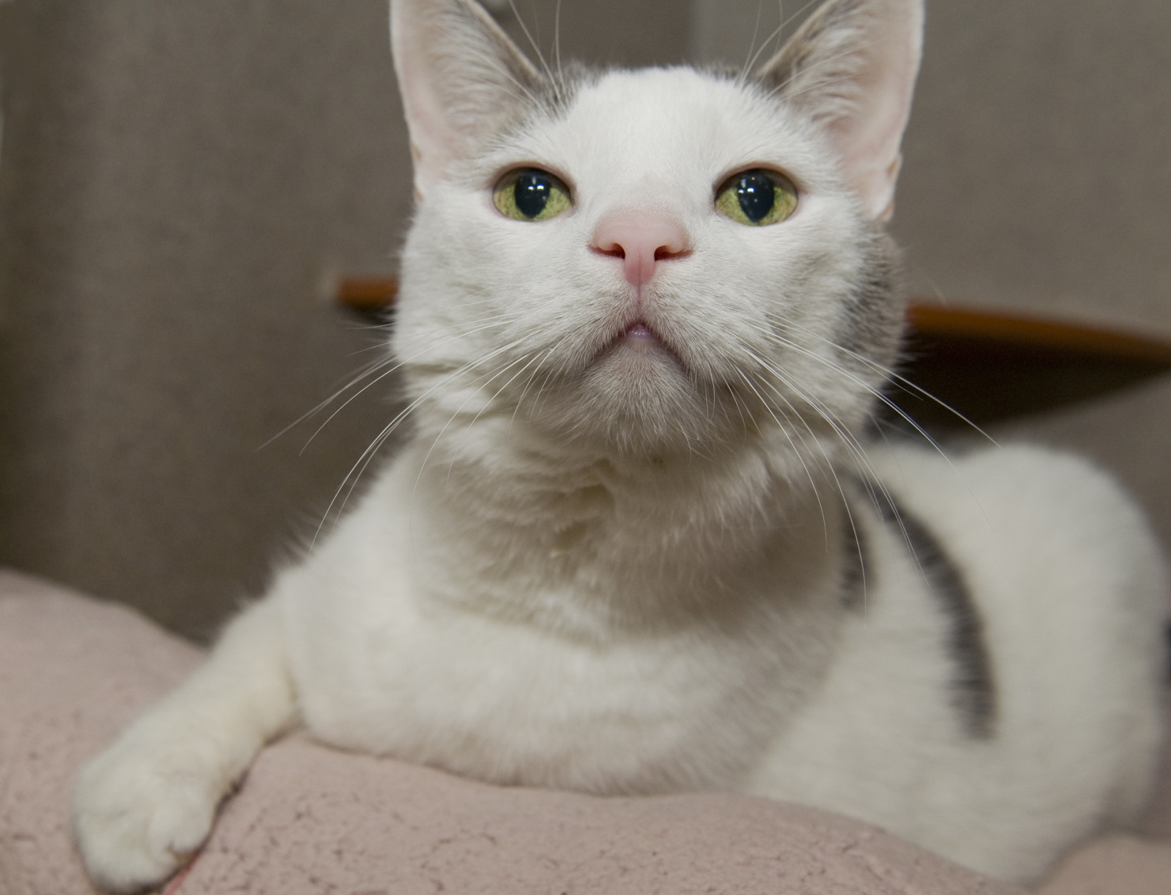 Be Mine is a pretty white-and-gray cat with lovely green eyes.  (Courtesy WARL)
