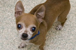 Cabbage is a darling 10-year-old male Chihuahua mix. (Courtesy WARL)