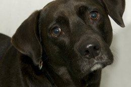 Pet of the Week: Dogwood  Meet Dogwood, a sweet six-year-old Lab mix who yearns for a home of his own. Just one look into this sweet boy's eyes will show how desperately he wants to be loved, but, sadly, he's not sure whether it'll happen. Dogwood is looking for that special someone who will be patient and gentle with him and will help build his self-confidence so he can truly enjoy all that life has to offer. Could that be you? Stop by the Oglethorpe Street NW shelter of the Washington Humane Society/Washington Animal Rescue League to meet this deserving boy and find out. And if you're over 50, his adoption fee will be waived as part of our Boomers' Buddies program! (Courtesy WARL)