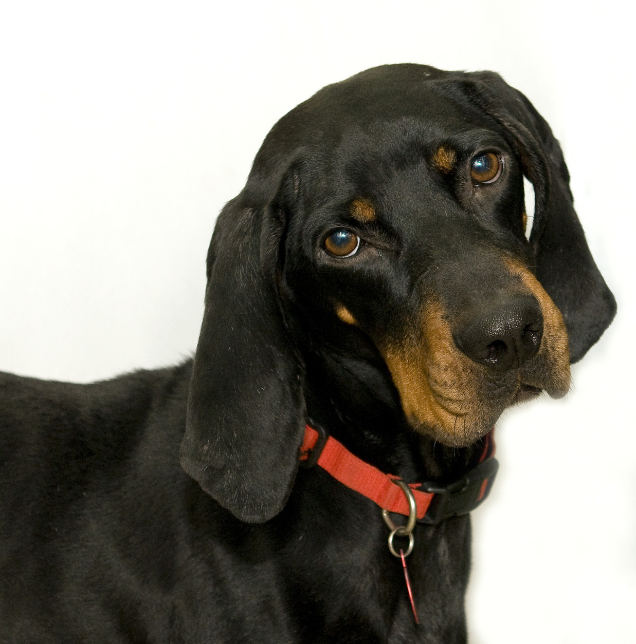 Lindy is a 3-year-old hound mix available for adoption at the Washington Animal Rescue League. (Courtesy WARL)