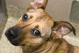 Lucerna is the Pet of the Week for the week of Monday, March 7, 2016. (The Washington Animal Rescue League)