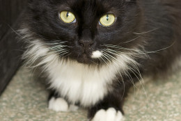Nosey the cat is the Pet of the Week for the week of Monday, March 7, 2016. (The Washington Animal Rescue League)