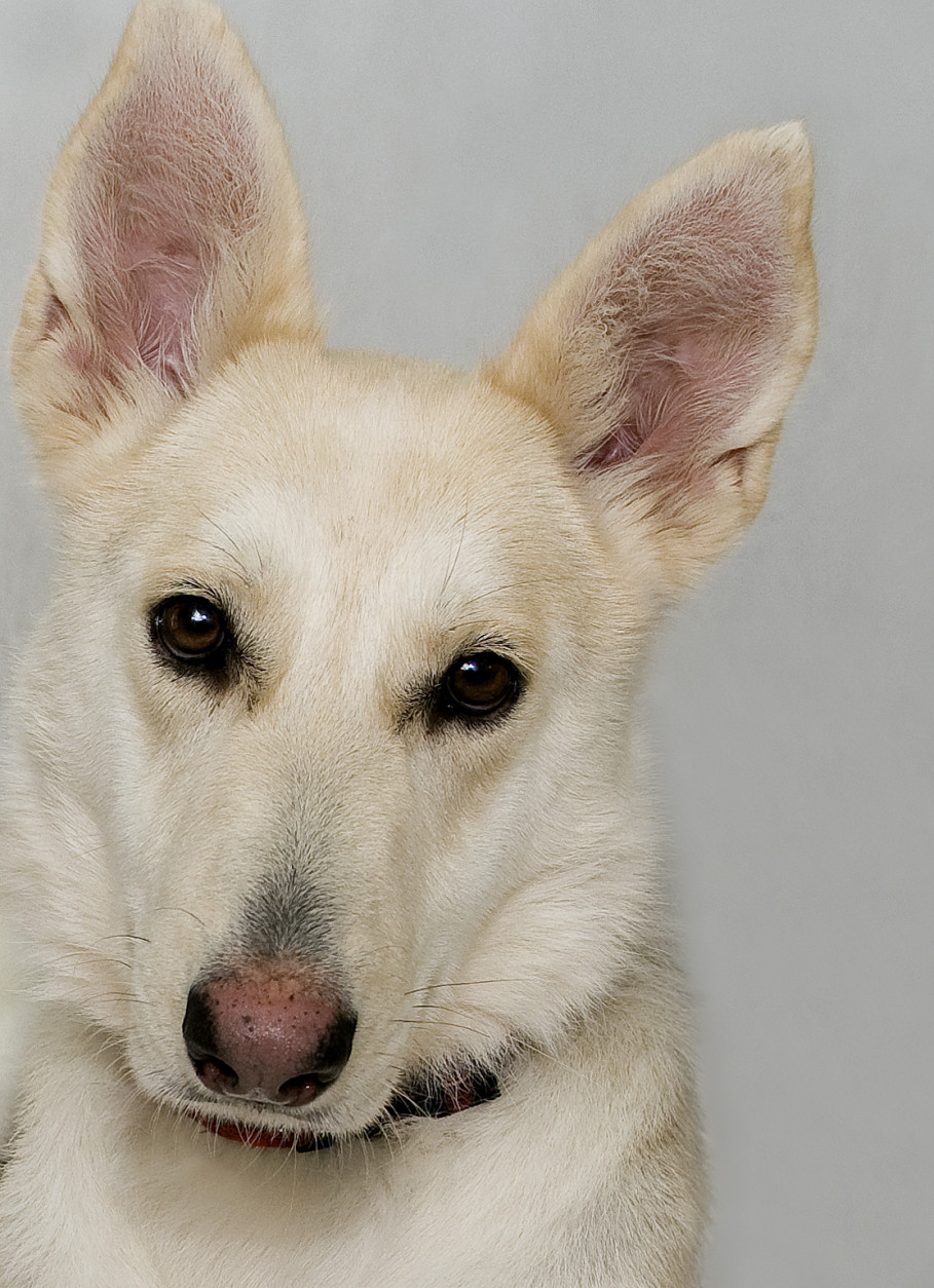 Elizabeth, a 4-year-old German shepherd mix, is one of the many dogs at the WHS/WARL Oglethorpe adoption center. (Courtesy WARL)