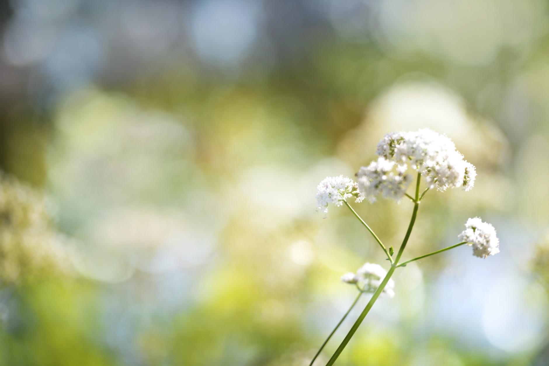 Bokeh light, yarrow flowers, macro, Achillea millefolium