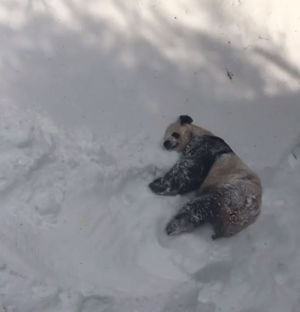 Panda Tian Tian continues to enjoy fun in the snow