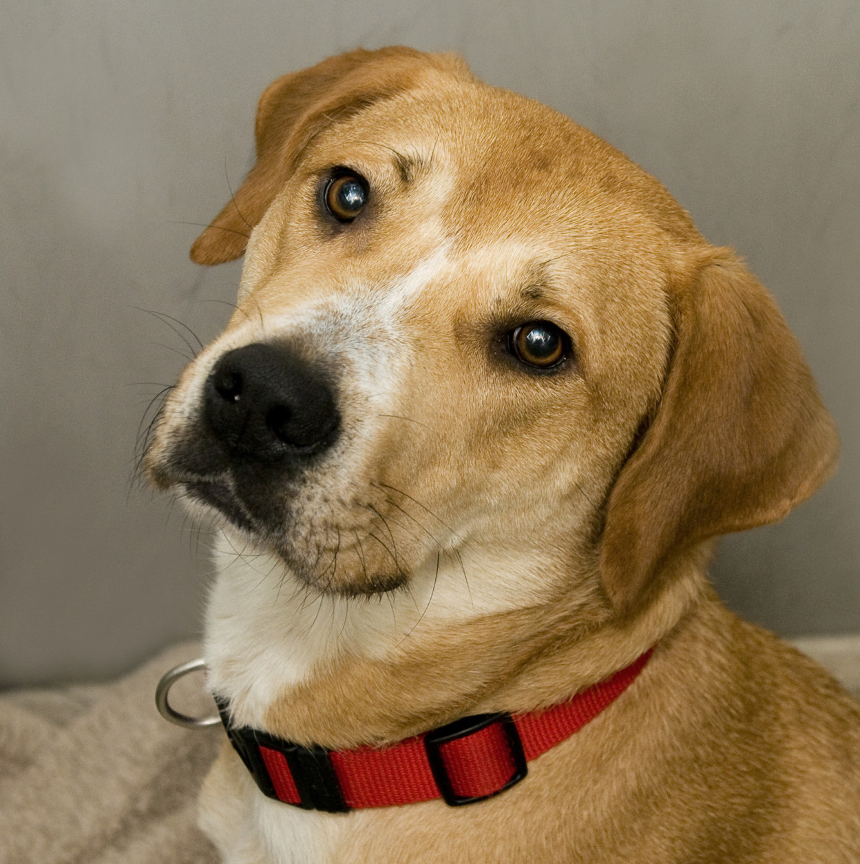 Pet of the Week: Tulip  Feb. 16: Tip toe through the tulips? Well this is just what Tulip would like to do with you!  Meet this sweet three  year-old hound mix with a pretty light tan coat and nice disposition.   She is a friendly, energetic gal who loves to take walks and smell all that the world has to offer.  Tulip would prefer to skip the dog parks, as she is a bit dog selective.  However she could live with calm, older dogs.  Come out to the Washington Animal Rescue League to meet Tulip, this week's Pet of the Week.  She can't wait to meet you! (Washington Animal Rescue League)