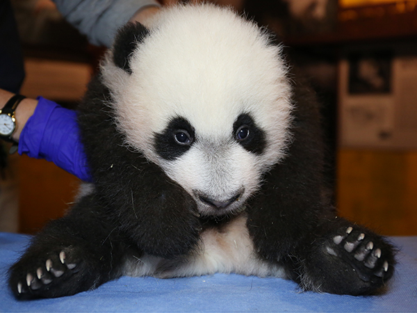 Watch Bei Bei eat food at the National Zoo