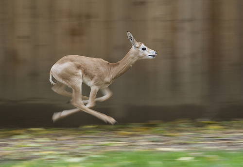 Smithsonian facility on guard after coyotes killed gazelle