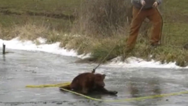Brown calf stranded on thin ice rescued by farmer and sheriff deputy