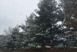 Snow falls on the trees in Waldorf, Md. on Jan. 17, 2016. (Darci Marchese/WTOP)