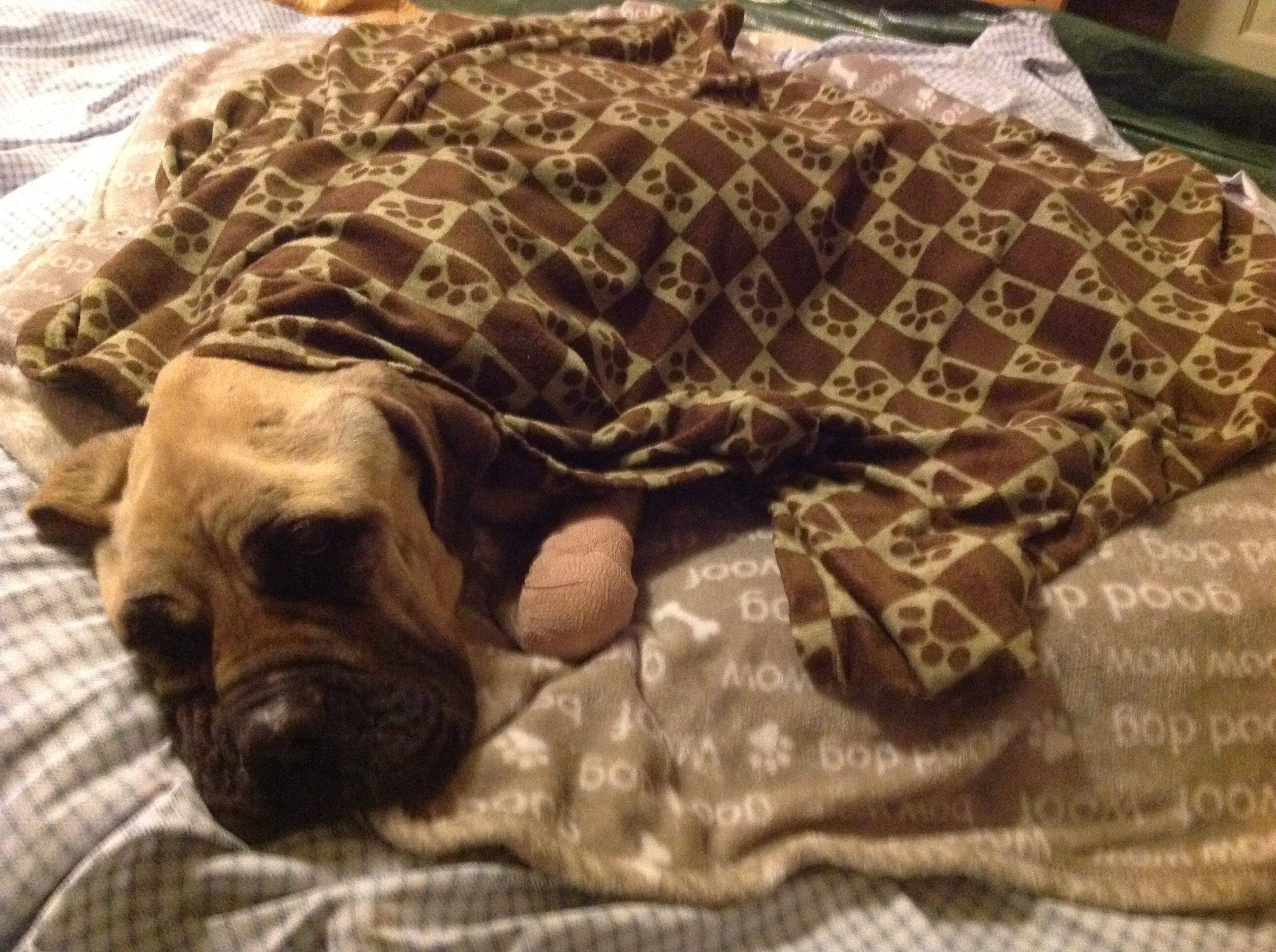 Rescued malnourished Mastiff on the road to recovery