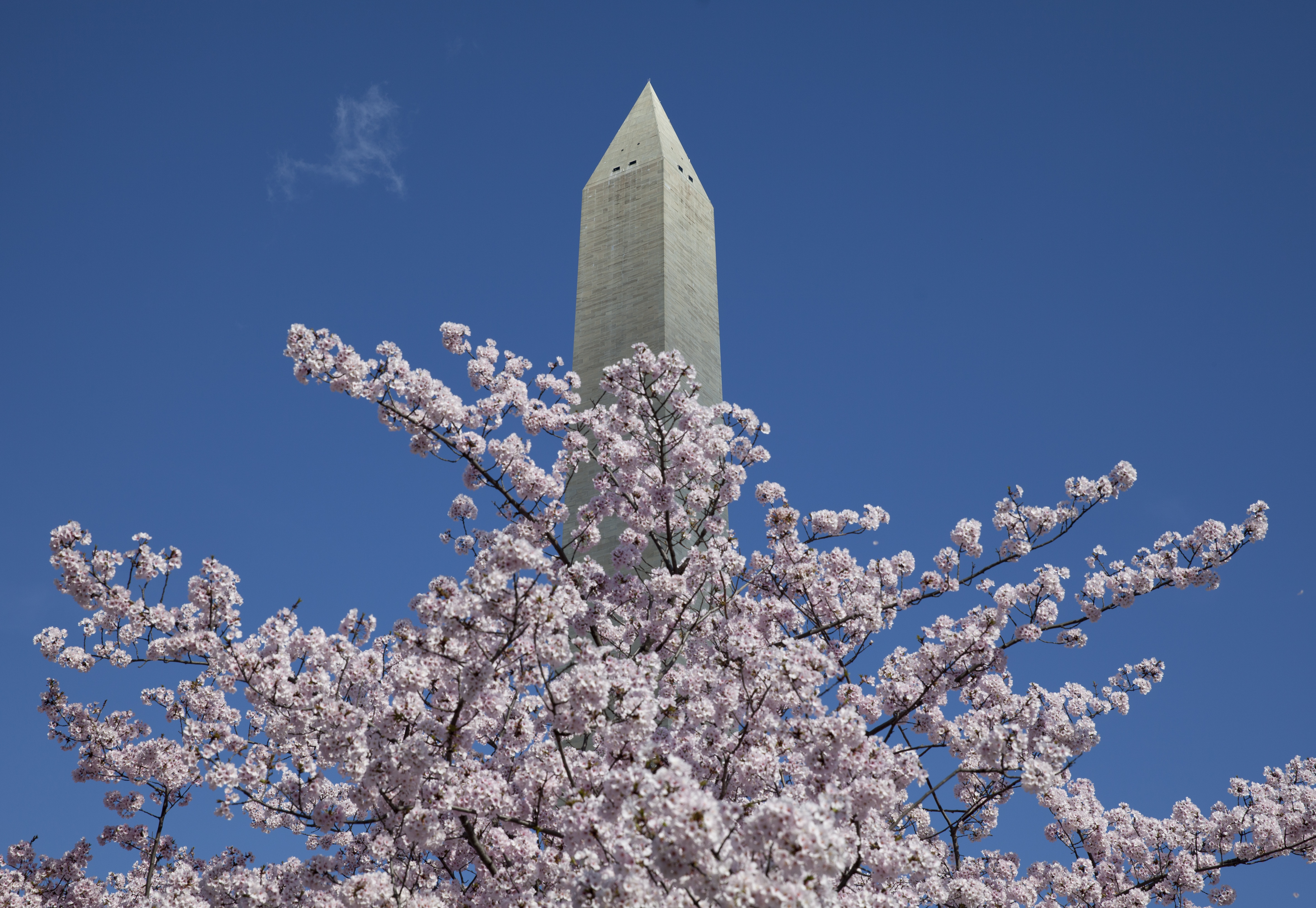 Map of Cherry Blossom Festival events and attractions | WTOP Cherry Blossom Dc Map on