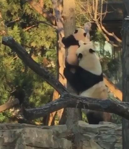 Bei Bei climbs a tree, gets a little help from mom (Video)