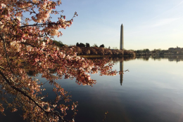 The cherry blossoms are seen near the Martin Luther King Memorial on the morning of March 24, 2016. (Chris Pybing)