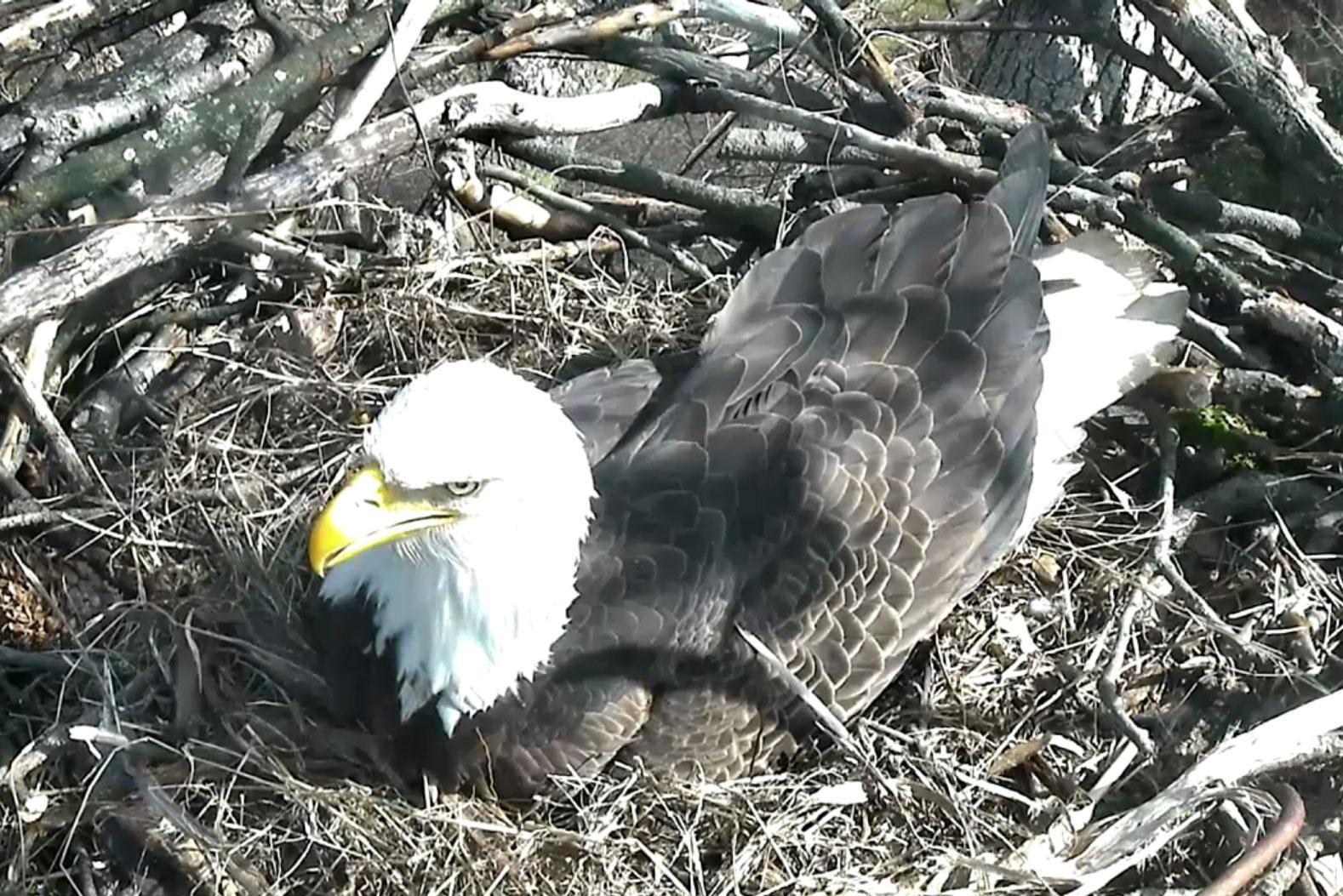 Cameras show newly nesting National Arboretum bald eagles