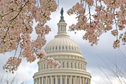WASHINGTON, DC - MARCH 19:  A cherry tree is in full bloom in front of the U.S. Capitol on March 19, 2012 in Washington, DC. Unseasonably warm weather has caused Washington's spring flowers and the famous cherry blossoms to bloom early.  (Photo by Mark Wilson/Getty Images)