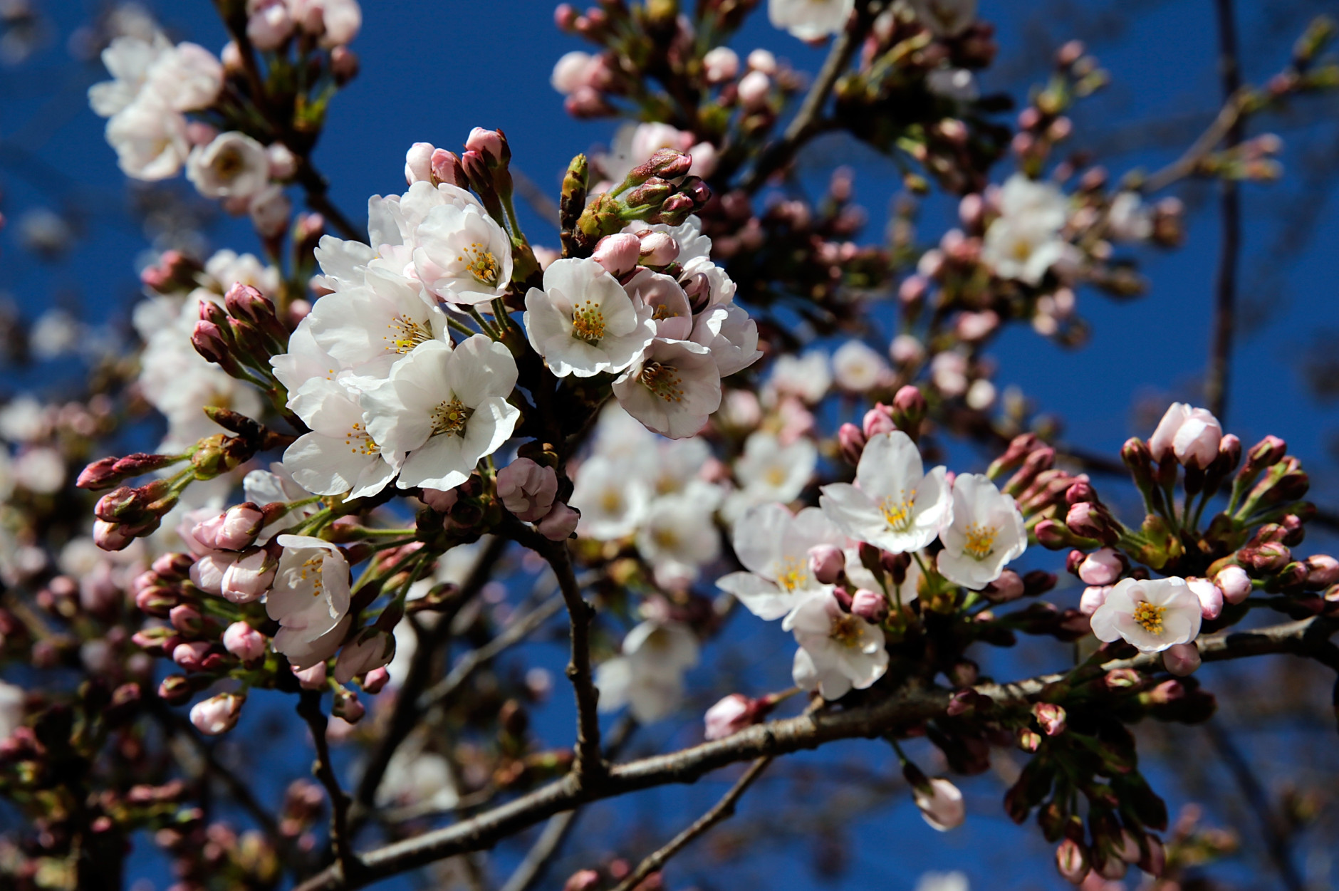 WASHINGTON, DC - APRIL 03:  Cherry blossoms slowly start to open around the Tidal Basin as a colder-than-normal March and chilly April has delayed the beginning of the cherry blossom season in the nation's capital April 3, 2013 in Washington, DC. Peak bloom was originally predicted between March 26 and March 30, with the revised prediction moving to April 6-10.  (Photo by Win McNamee/Getty Images)