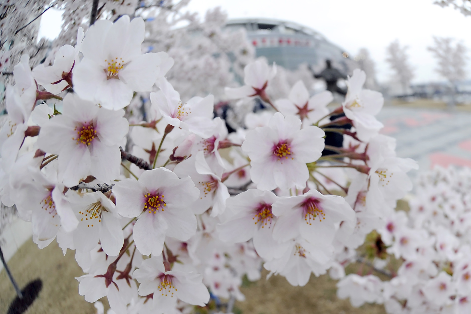 WASHINGTON, DC - APRIL 09:  Cherry blossoms bloom outside of Nationals Park before a baseball against between the Washington Nationals and the New York Mets on April 9, 2015 in Washington, DC.  (Photo by Mitchell Layton/Getty Images)